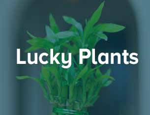 Lucky Plant for Anniversary